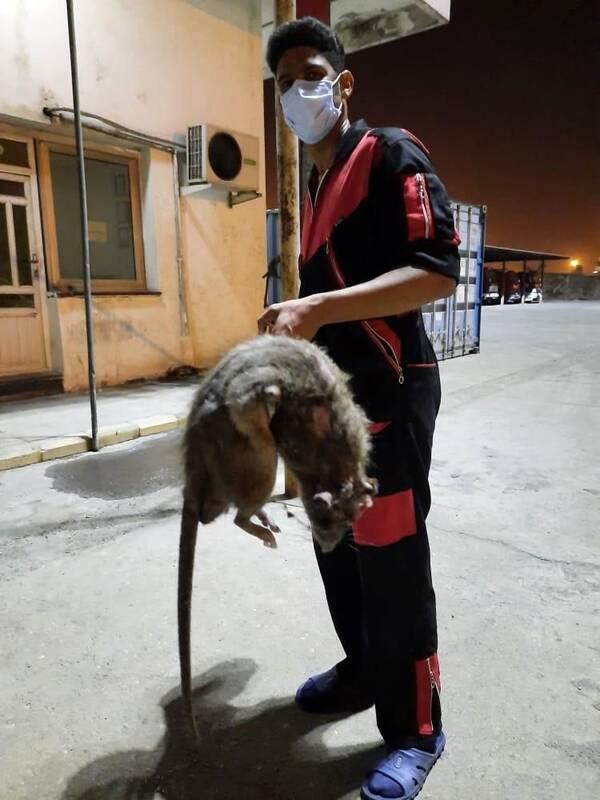 کشف موش غول پیکر در بندرعباس+عکس