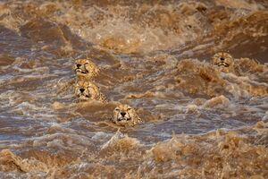 عکس/ تلاش دیدنی یوزپلنگها برای عبور از رودخانه
