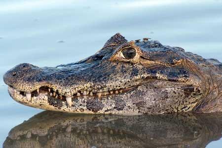 فیلم/ فرار مرد خوششانس از چنگ تمساح
