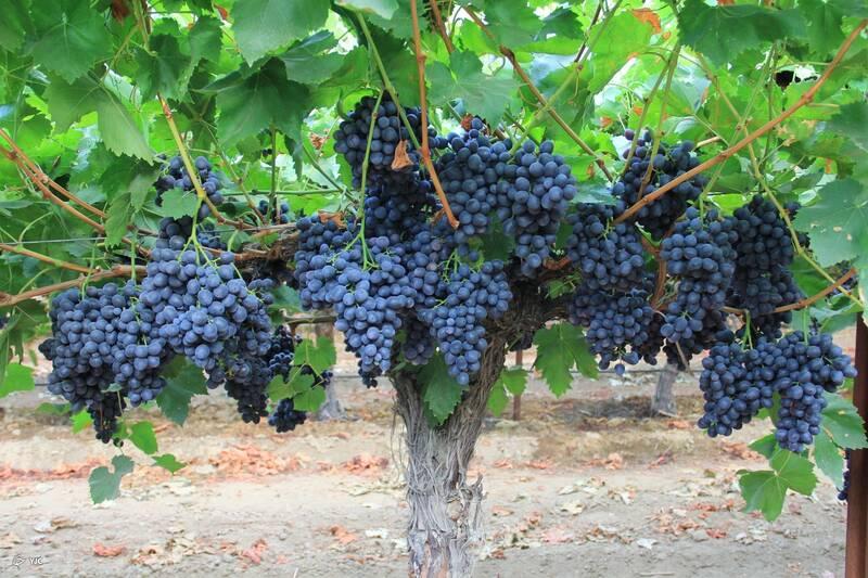 خواص فوقالعاده انگور سیاه برای سلامتی