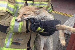 حیوانات عجیب غریبی که به دام آتشنشانی افتادند +عکس
