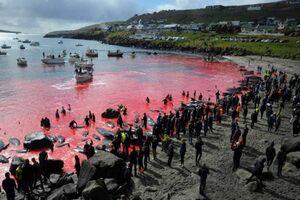 عکس| کشتار دسته جمعی دلفینها در جزایر فارو چگونه رقم خورد؟