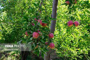 عکس/ برداشت سیب زنوز