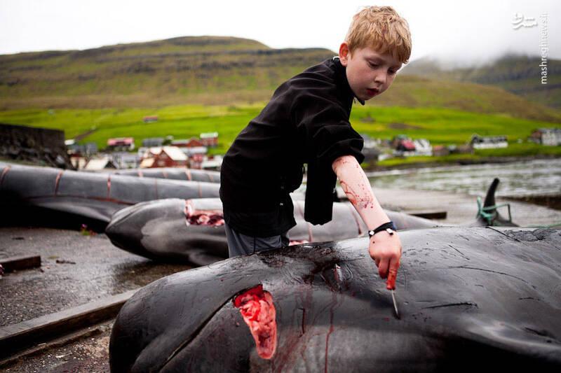 کشتن صدها دلفین در دانمارک و کشتن هزاران مار در آمریکا؛ نمونه ای از سنتهای غیرانسانی + عکس