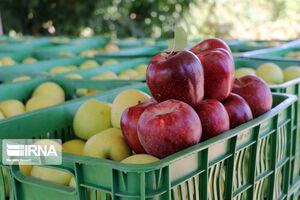 عکس/ برداشت سیب سرخ