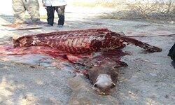 کشف گوشت الاغ و لاشه اسب از یک دامداری در جنوب تهران