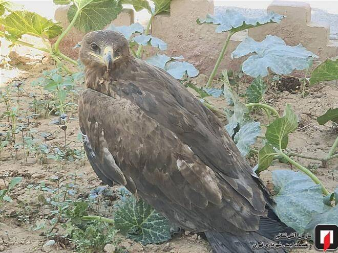 صید عقاب در دانشگاه شاهد +تصاویر
