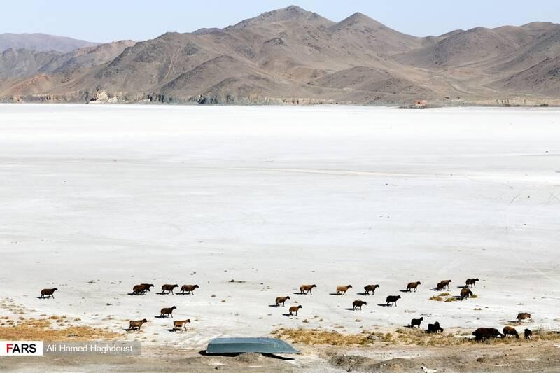 گله گوسفندان در حال عبور از نمک سفت شده کف دریاچه ارومیه در بندر رحمانلو هستند.