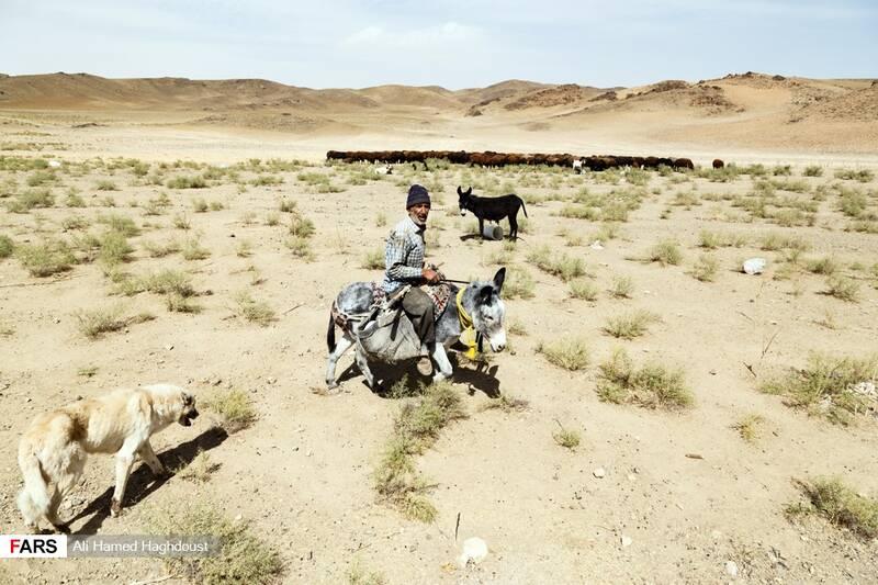 مرد چوپان، سلمان بهاری، 59 ساله در حال عبور دادن گله گوسفندان خود در نزدیکی دریاچه ارومیه در بندر رحمانلو است.