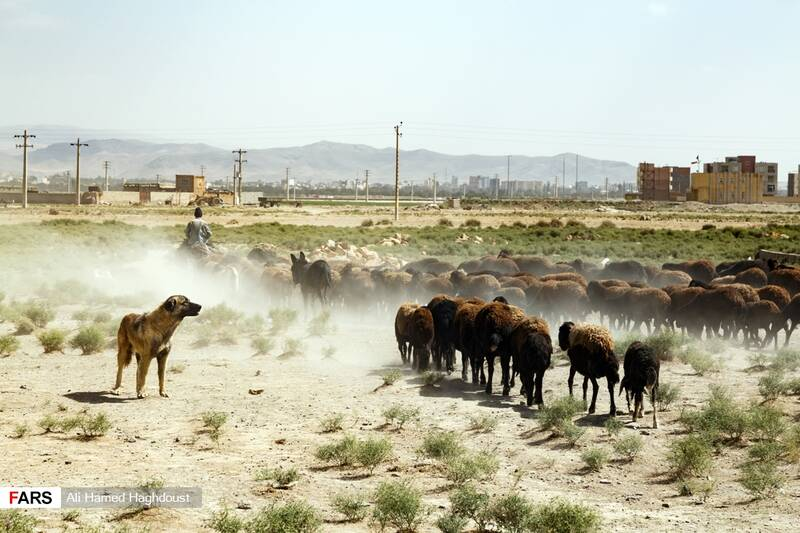 مرد چوپان در حال عبور با گله خود از تپهای در نزدیکی ساحل دریاچه ارومیه درشهر عجبشیر است.
