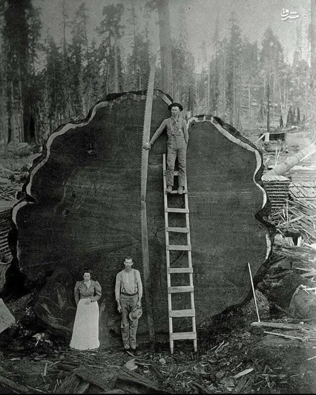 جنایت اروپاییها در قطع درختان هزارساله +عکس