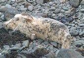 تلفات غیرعادی فوکها در سواحل دریای خزر / تیم متخصص محیط زیست به منطقه اعزام شد