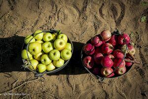 عکس/ فصل برداشت سیب