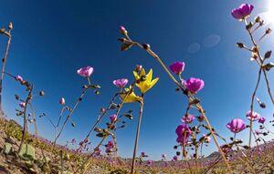 عکس/ رویش گل در خشکترین بیابان جهان