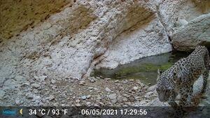 ثبت تصویر از پلنگ در مناطق حفاظت شده بوشهر