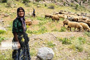 ۲۵ درصد گوشت قرمز کشور را عشایر تامین میکنند