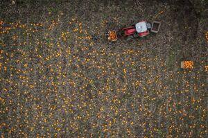 عکس/ مزرعه بزرگ کدو تنبل را از بالا ببینید