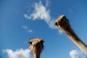 عکس/ سلفی شترمرغها