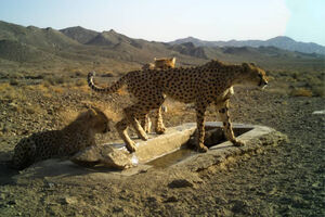 عکس/ رویت یوزپلنگ مادر و تولههایش در سمنان