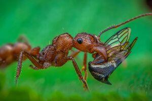 عکس/ نمایی نزدیک از شکار مورچه