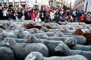 عکس/ عبور گله گوسفندان از سطح شهر