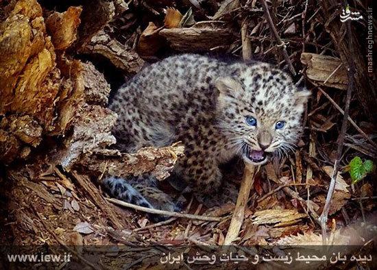 عکس/ توله پلنگ تازه متولد شده در پارک ملی گلستان