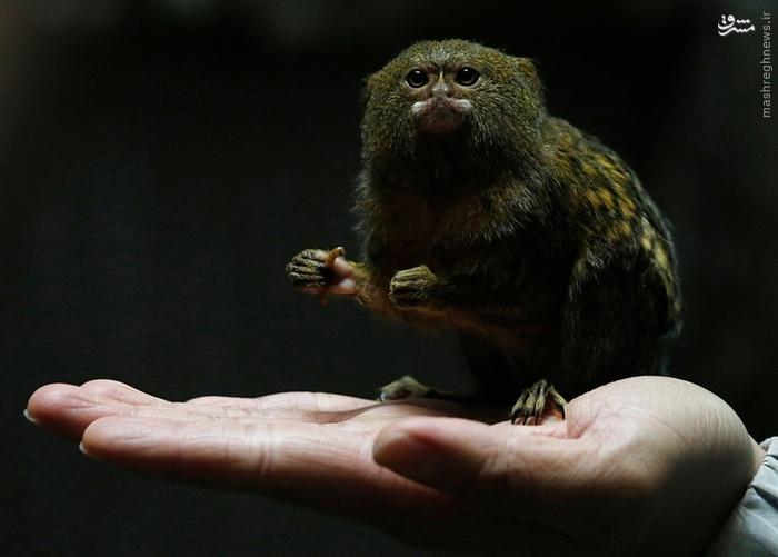 عکس/ کوچکترین میمون جهان