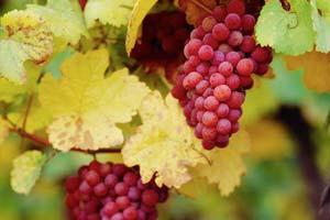 خط قرمز روحانی شکسته شد: انگور شیلی به بازار آمد