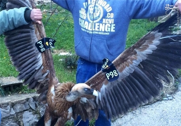 عقاب جاسوس اسرائیلی به دام افتاد+تصاویر