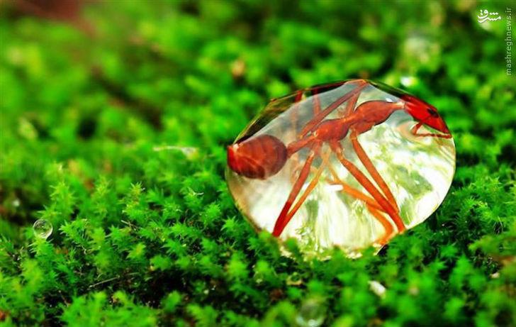 عکس/ گرفتار شدن مورچه در قطره آب