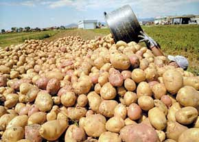 20 درصد سیب زمینی تولیدی کشور غیرقابل مصرف است