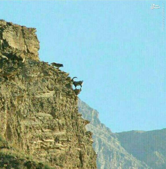 عکس/ صحنهای بی نظیر از پناه گرفتن بز کوهی از چنگال گرگ
