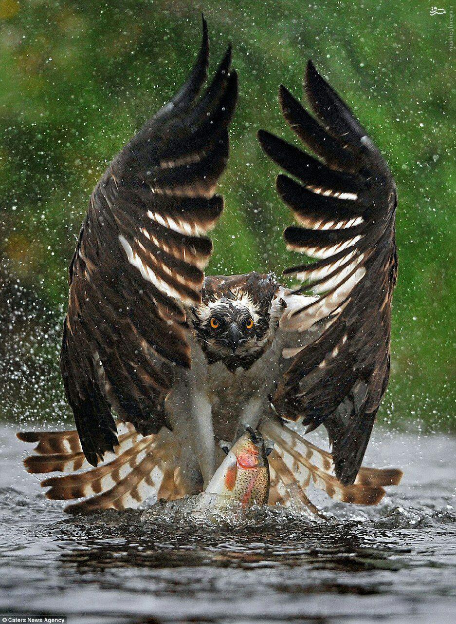 عکس/لحظه دیدنی ماهی گیری یک عقاب دریایی
