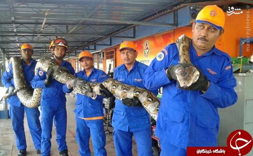 عکس/ شکار عظیمترین مار جهان در مالزی