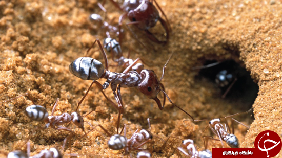 اصلاح موهای بدن مورچه +عکس