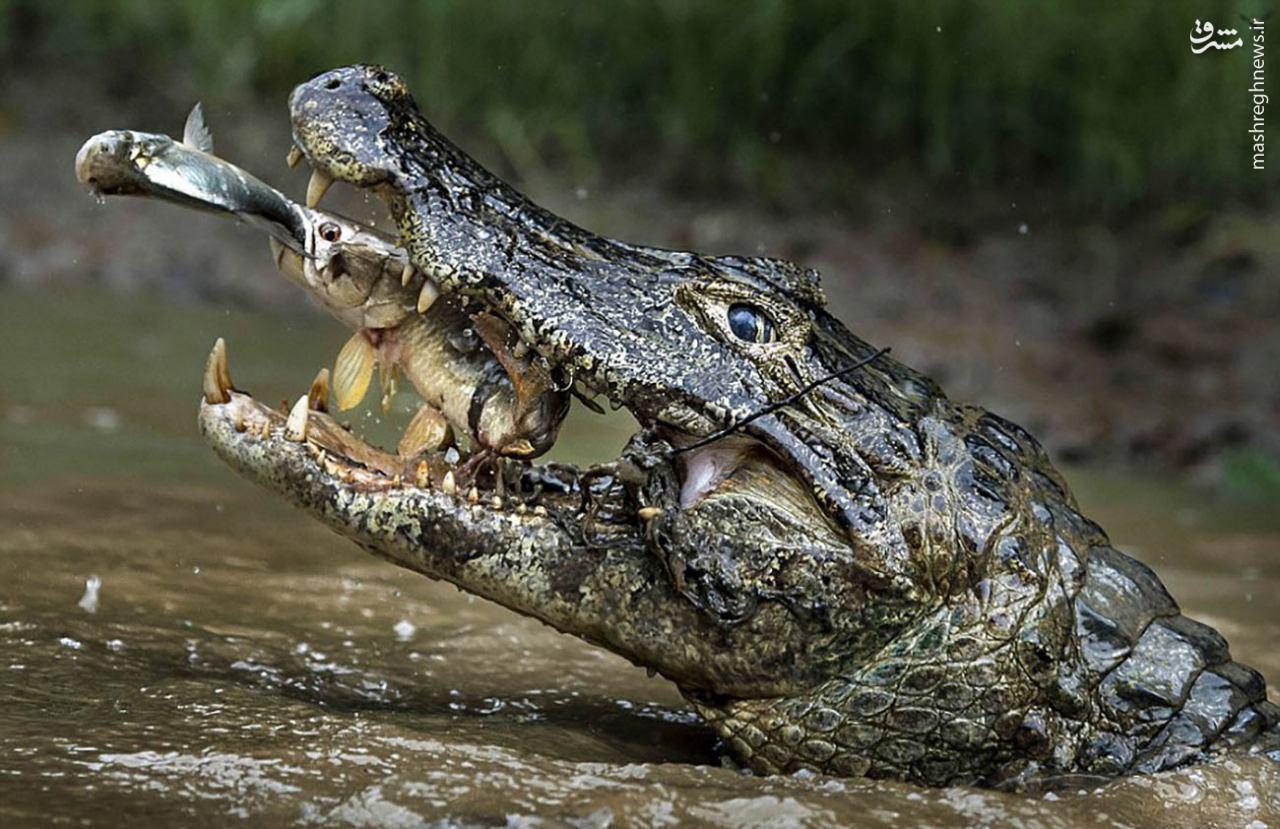 عکس/ وقتی شکارچی شکار می شود