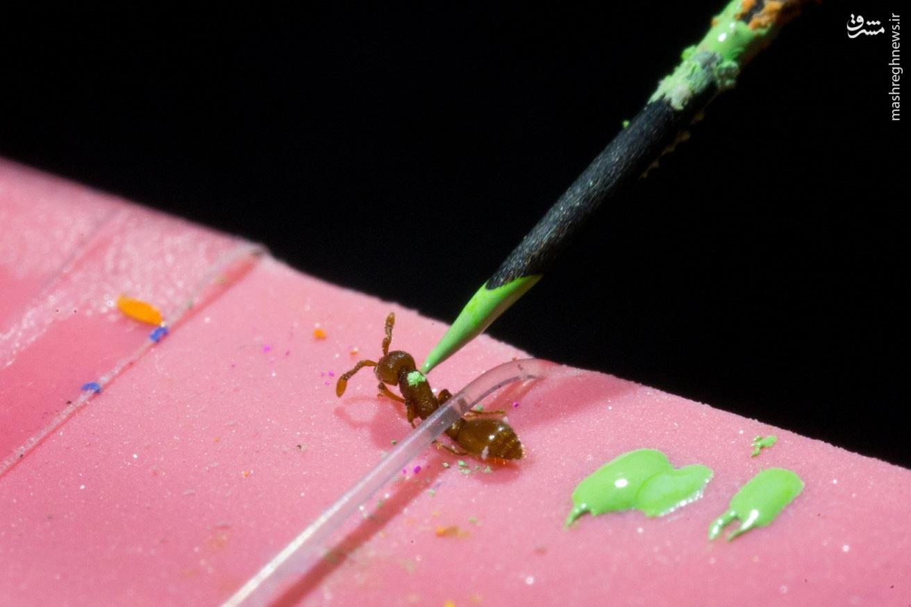 تولد اولین مورچههای تراریخته در منهتن هزاران بیم و امید را برانگیخت