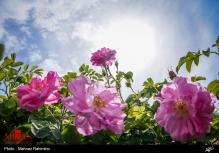 عکس/ جشنواره گلابگیری در باغ گیاهشناسی ایران