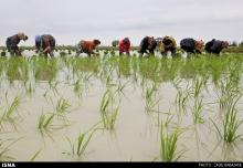 عکس/ نشاء برنج در شالیزارهای ساری