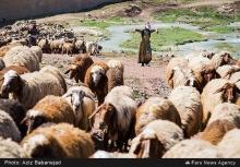 عکس/ کوچ عشایر در لرستان