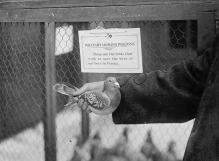 عکس/ کبوتر نامهبر در جنگ جهانی اول