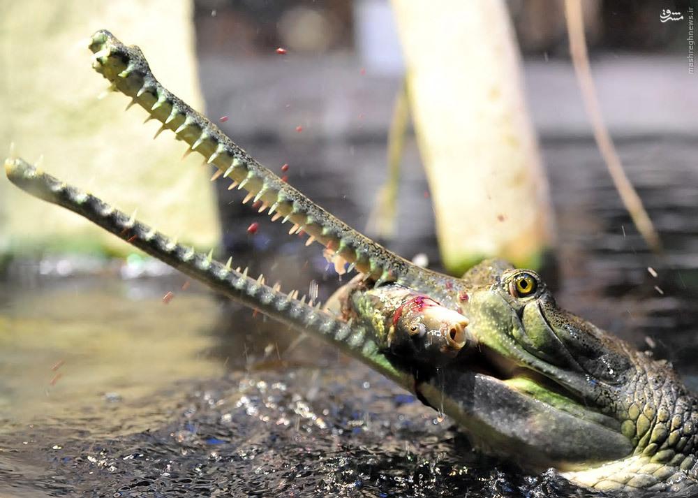 عکس/ لحظه شکار تمساح
