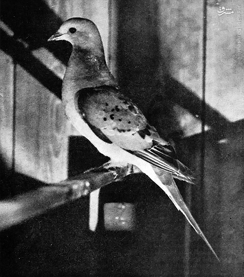 کبوتر وحشی آمریکای شمالی