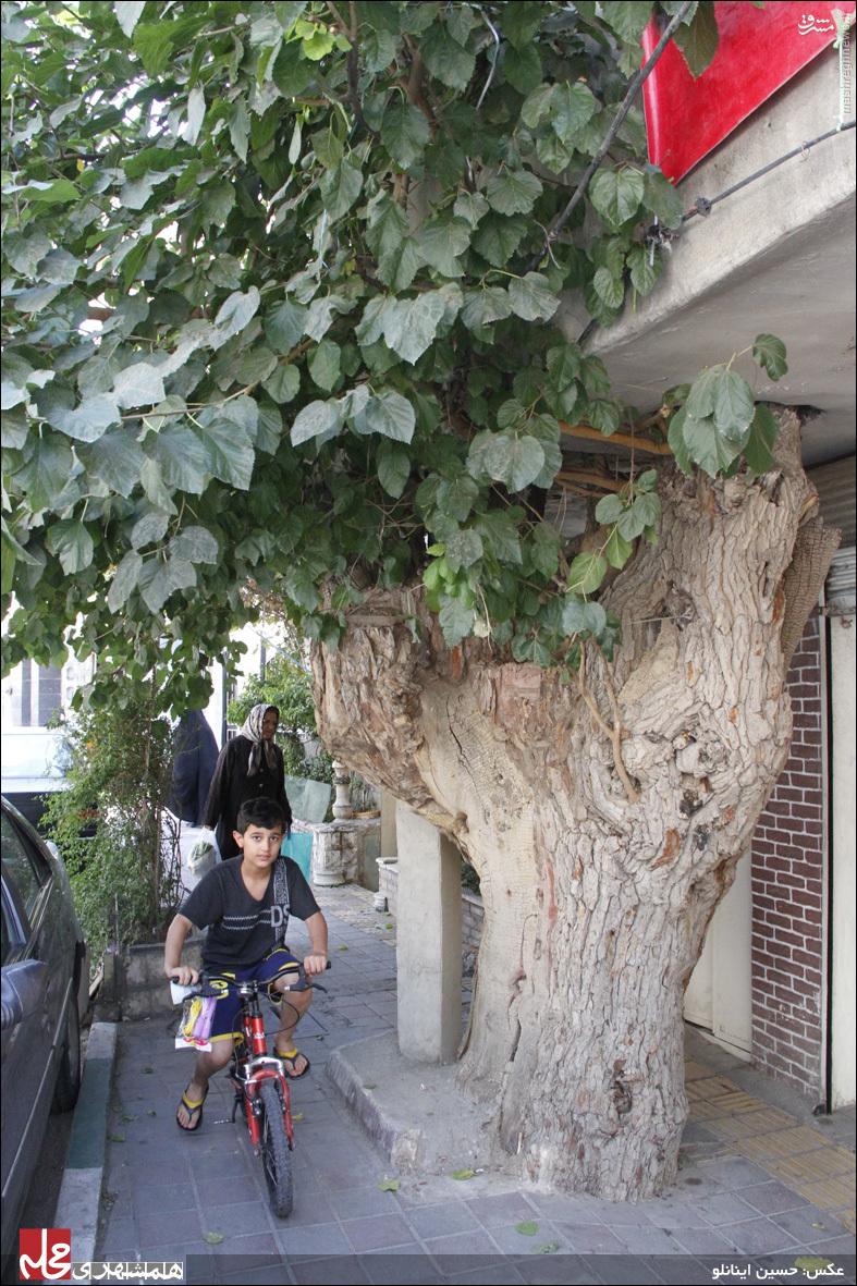 داستان درختی که عضو جدانشدنی یک خانواده تهرانی است +عکس