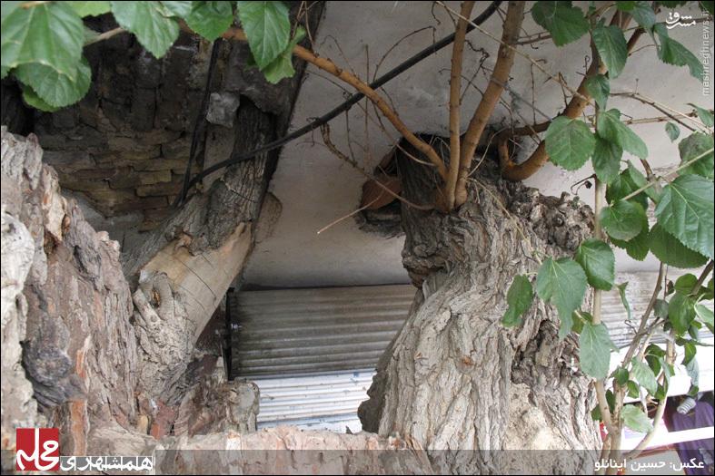 داستان درختی که عضو جدانشدني یک خانواده تهرانی است +عکس