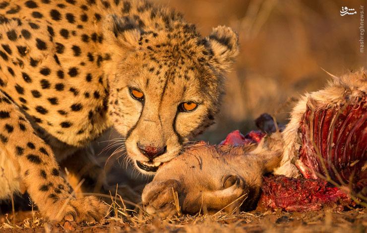 عکس/ ژست یوزپلنگ سر میز غذا