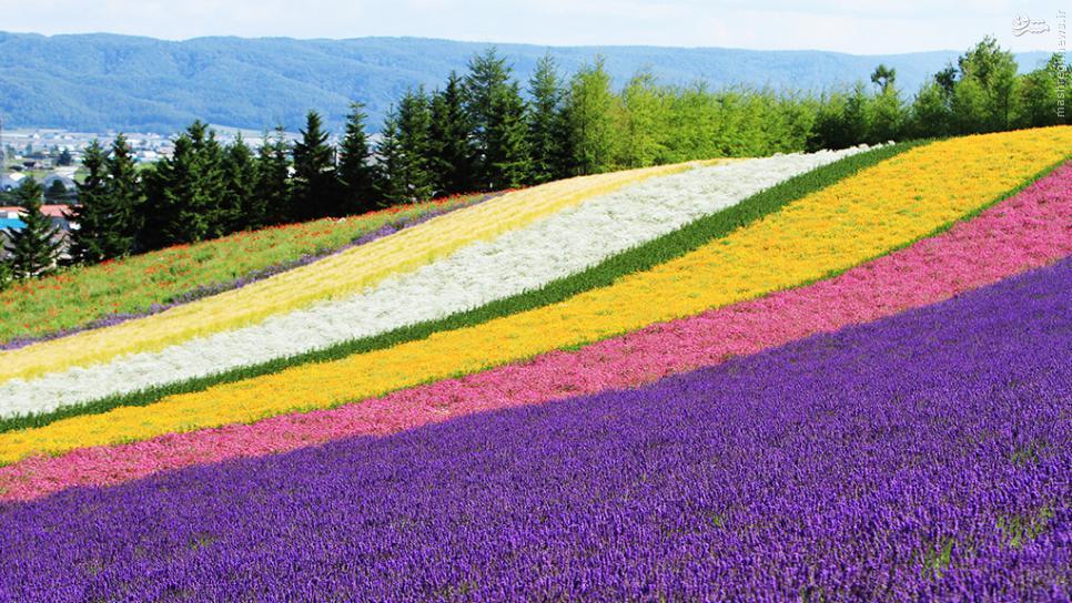 عکس/ مزرعه زیبای اسطوخودوس در ژاپن