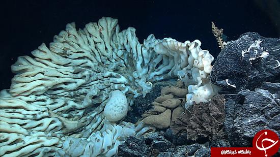 پیرترین موجود زنده در اعماق دریا +تصاویر