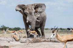 عکس/ فیل خودخواه و گله آهو