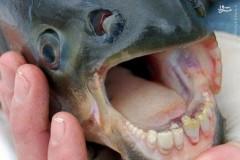 عکس/ کشف ماهی با دندان های شبیه به انسان